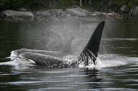 Prowling Orcas