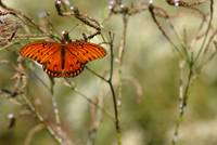 Gulf Fritillary Butterfly at Rest
