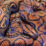 """Snake - Brazilian Rainbow Boa"" by BenSmith"