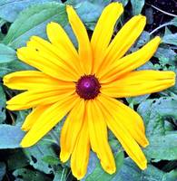 Black-eyed Susan - I shot this about a block away