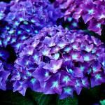 """Hydrangea"" by marinebluesoul"