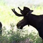 """Bull Moose"" by kathymfa"