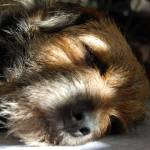 """""""border terrier lying down"""" by Stocky"""