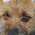 """border terrier puppy dog eyes"" by Stocky"