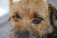 border terrier puppy dog eyes
