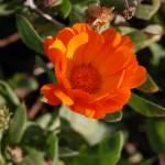 """""""calendula (english marigold) shaddow"""" by Stocky"""