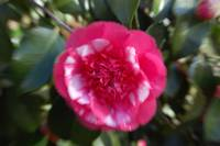 camelia inward motion blurr