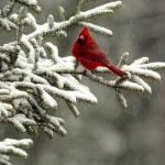 """""""Cardinal in Winter"""" by jbrett"""