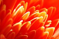 Gerbera Daisy Abstract