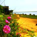 """Nauset Harbor Roses"" by dapixara"
