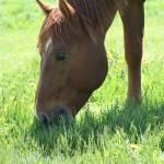 """""""Horse Grazing"""" by kiaradiva"""