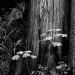 """Giant Cedar Tree in Black and White"" by jbrett"