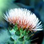 """cactus flower"" by marinebluesoul"