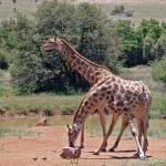 """""""DSC_7168- Two-Headed Giraffe"""" by photocell"""