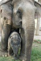 Thai Elephant and Baby