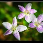 """three onion flowers"" by tbock"
