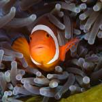 """Anemonefish"" by sbailliez"