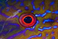 Goatfish eye