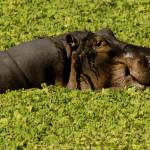 """Hippos-0240"" by PhotographyPerspectives"