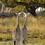 """Giraffe-0565"" by PhotographyPerspectives"