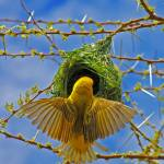 """DSC_6378-  Masked Weaver"" by photocell"