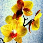 """Orchid Fantasia :)"" by Calen"