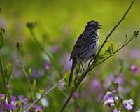 Song Sparrow in Wildflowers