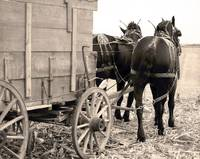Percherons Pulling Corn Wagon