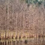 """Cypress"" by MicheleShields"