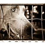 """The Gated Weimaraner"" by AtomicCerebellum"