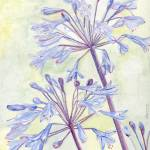 """African Lily (Agapanthus)"" by factorygallery"