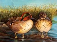 Greenwinged Teal
