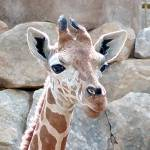 """Giraffe Youngster African Wildlife"" by JMcQ"