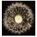 """Dandelion"" by JohnRobertson"