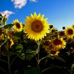 """Sunflowers"" by jeffreysinnock"