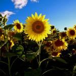 """Sunflowers"" by jeffreysinnock"