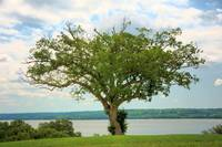A Tree at Mt Vernon