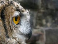 Cino - European Eagle Owl