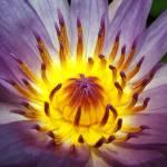 """""""Lotus closeup"""" by prajuvikas"""