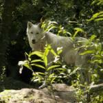 """Wolf"" by breeblebox"