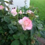 """Pink hybrid in Emerald Garden"" by memoriesoflove"