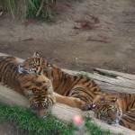 """""""Tiger Trio"""" by SeaAngel"""