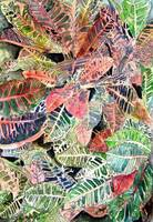 tropical art prints croton plant