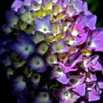 """""""Blue Hydrangea"""" by beau"""