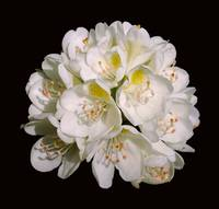 White Rhododendron Blossom #1