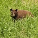 """""""Black Bear, Juneau, AK"""" by erbephoto"""