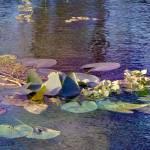 """lilypads"" by MicheleShields"