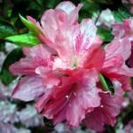 """""""pink azalea"""" by sjones"""