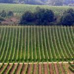 """Combing the Vineyard"" by matt707"