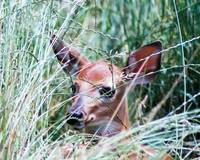 fawn at home